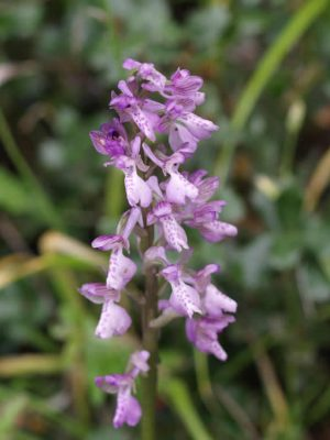 Orchis picta